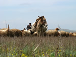 Grazing cattle in  Azerbaijan (Etzold, J.)