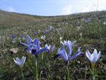 Blooming crocus  in the Caucasus, Azerbaijan (Manthey, M.)